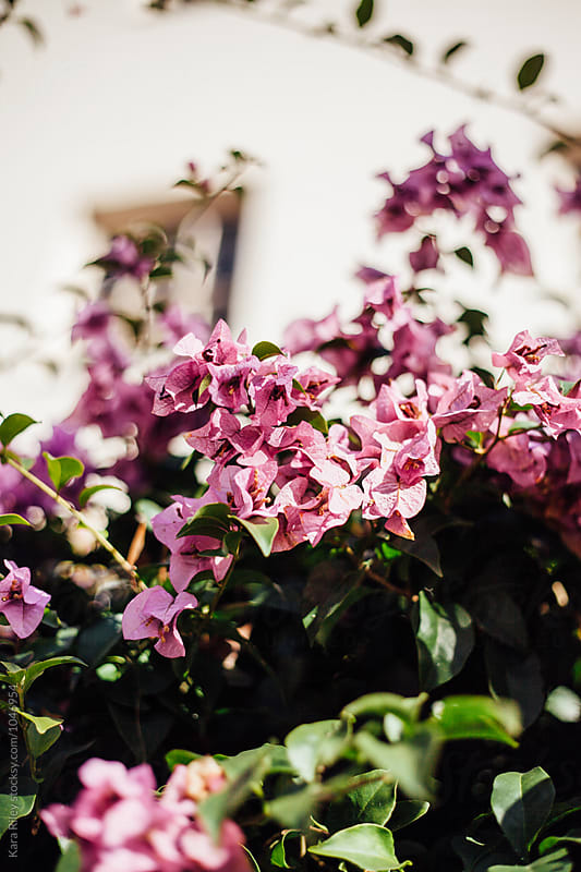 Pink Bougainvillea by Kara Riley for Stocksy United