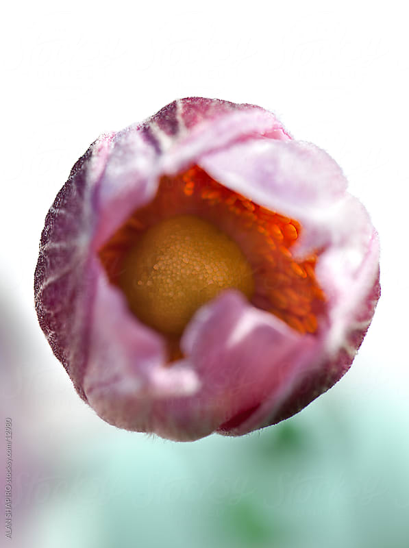 looking into a flower by alan shapiro for Stocksy United