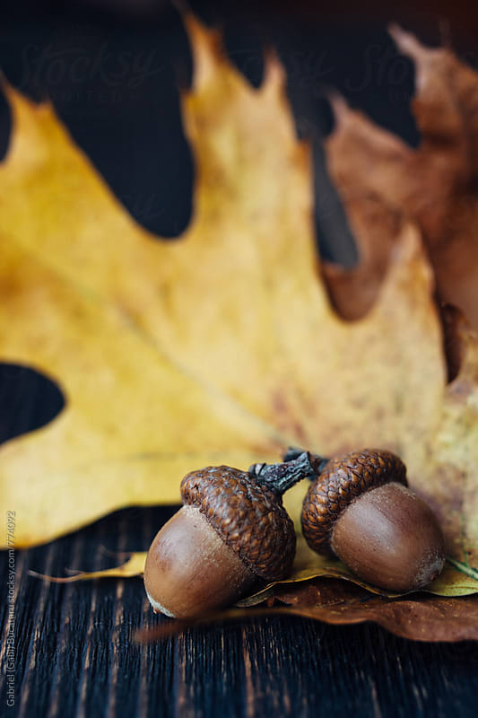 Two acorns on fall oak leaves by Gabriel (Gabi) Bucataru for Stocksy United