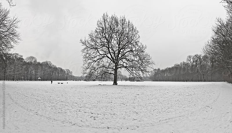 Panoramic image of a majestic oak tree in winter in a park by Melanie Kintz for Stocksy United