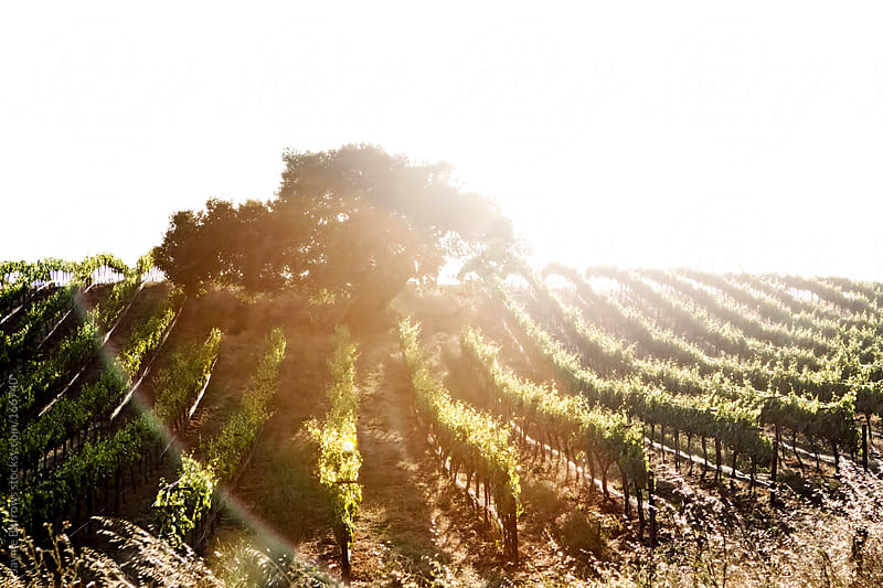 Vineyard in Edna Valley by Jayme Burrows for Stocksy United