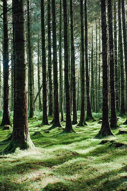 Pine trees in a wood with dappled sunlight by Suzi Marshall for Stocksy United
