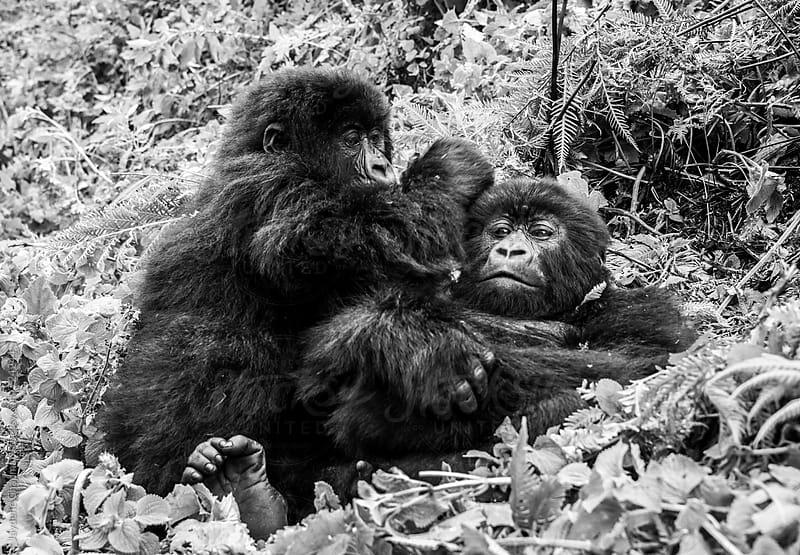 Gorilla in a National park, Rwanda, Africa by Jaydene Chapman for Stocksy United
