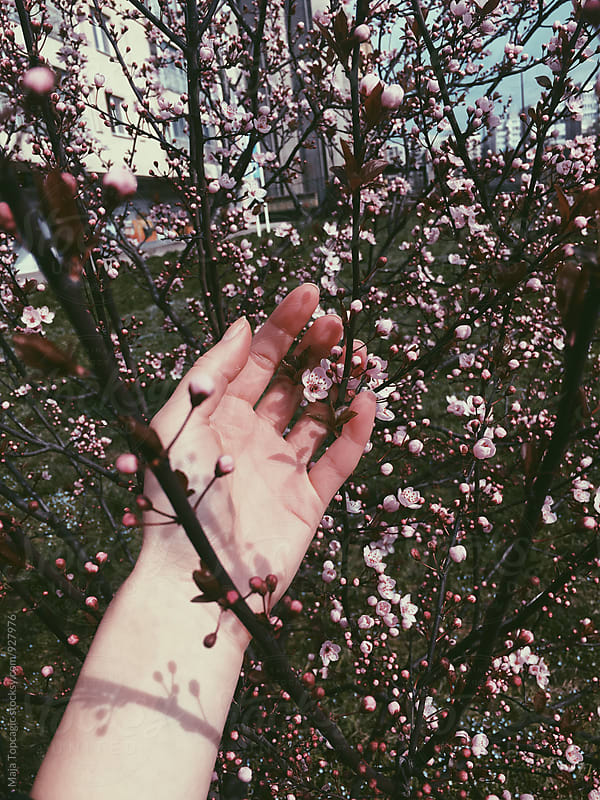 Female hand holding a blossom branch by Maja Topcagic for Stocksy United