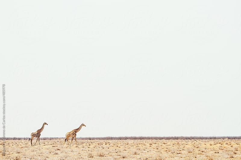 Two giraffe crossing the African savanna with blank copyspace by Alejandro Moreno de Carlos for Stocksy United