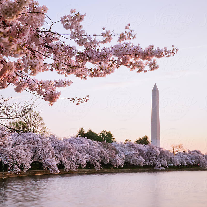 Cherry Blossom Sunrise With The Washington Monument  by Cameron Whitman for Stocksy United