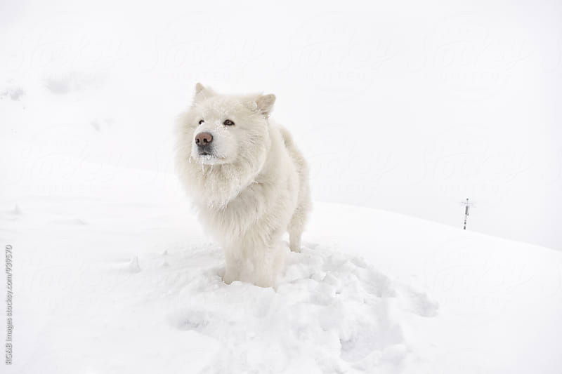 Fluffy white dog in the snow by RG&B Images for Stocksy United