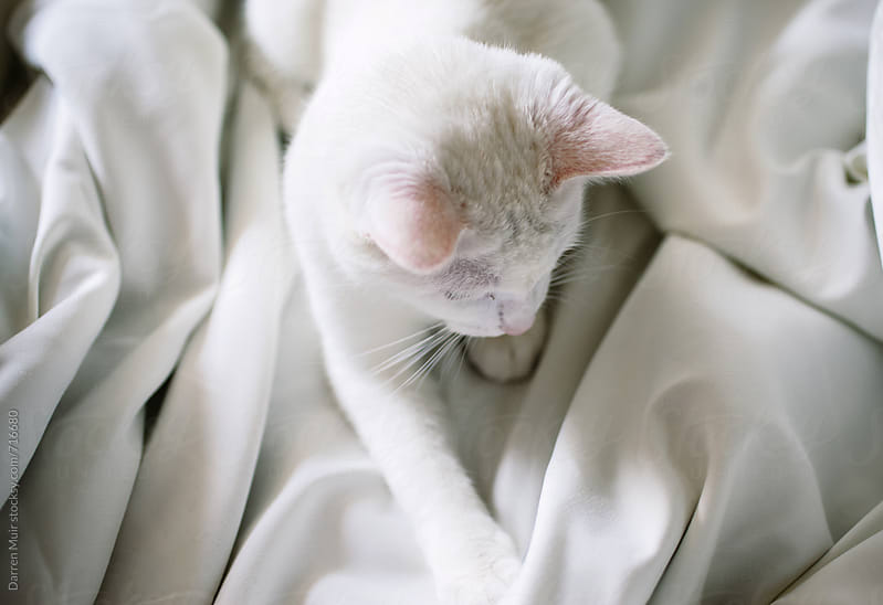 White cat lying on a white bed sheet.  by Darren Muir for Stocksy United