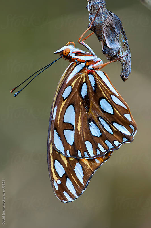 Metamorphosis complete, a Gulf Fritillary butterfly clings to chrysalis by David Smart for Stocksy United