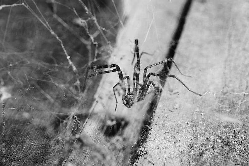 Close up of a spider. by Shikhar Bhattarai for Stocksy United