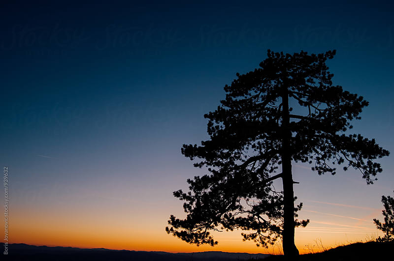 Silhouette of a pine tree and sunset in the background by Boris Jovanovic for Stocksy United