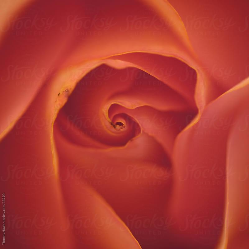 flower petal details by Thomas Hawk for Stocksy United