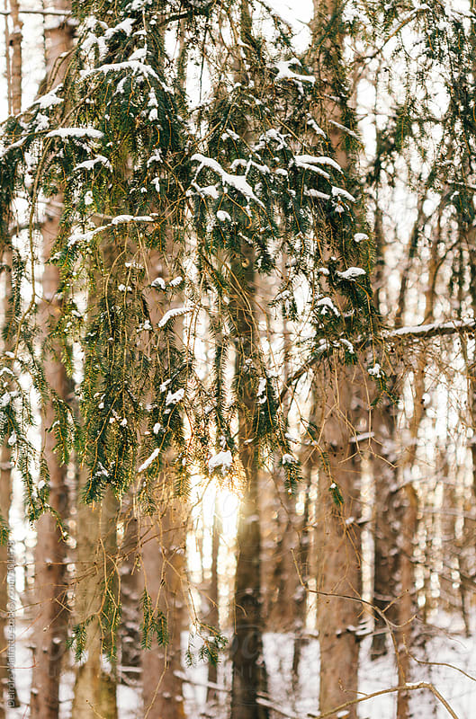 snowy cedar trees at sunrise by Deirdre Malfatto for Stocksy United