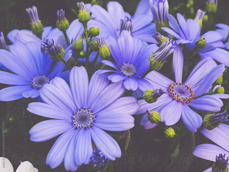 closeup of daisies by unite images for Stocksy United