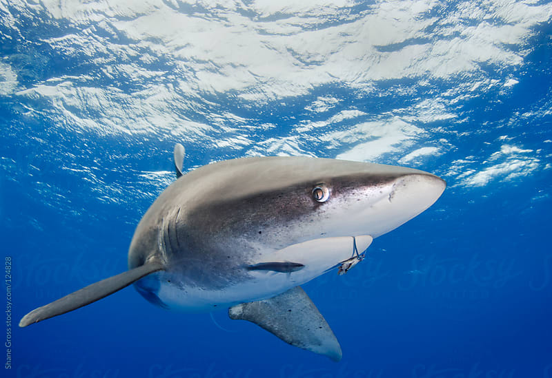 Hooked Shark by Shane Gross for Stocksy United