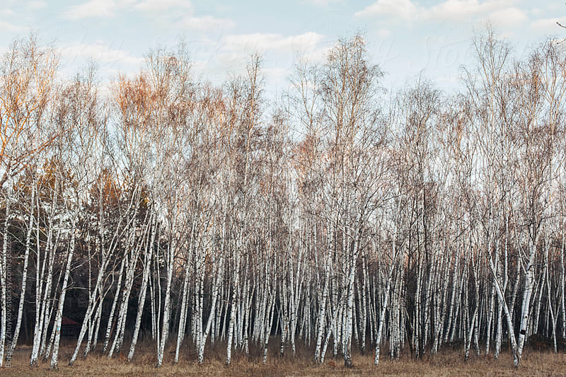 Birch forest by Borislav Zhuykov for Stocksy United
