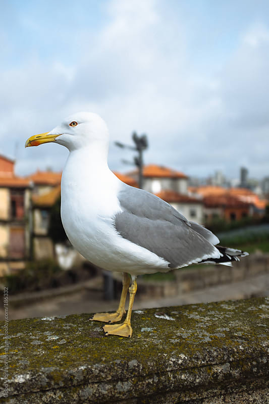 Seagull by Good Vibrations Images for Stocksy United