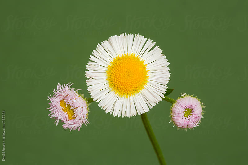 Daisy Fleabane flowers against out-of-focus green background by David Smart for Stocksy United