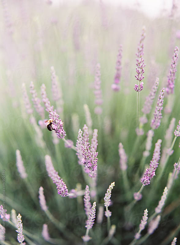 Spring lavender and a bee  by Vicki Grafton Photography for Stocksy United