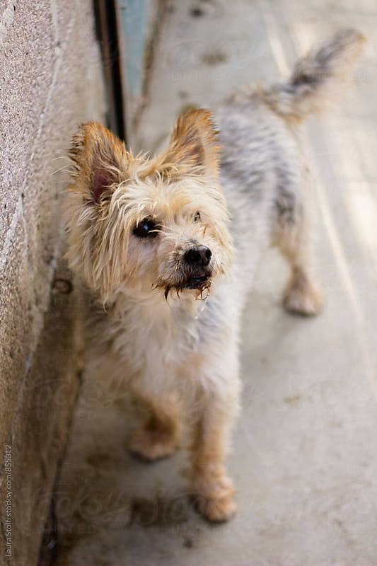 Lovely yorkshire dog stands on concrete ground with dirty fur by Laura Stolfi for Stocksy United
