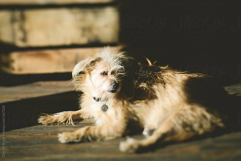 Scruffy dog in the sunshine. by Cherish Bryck for Stocksy United
