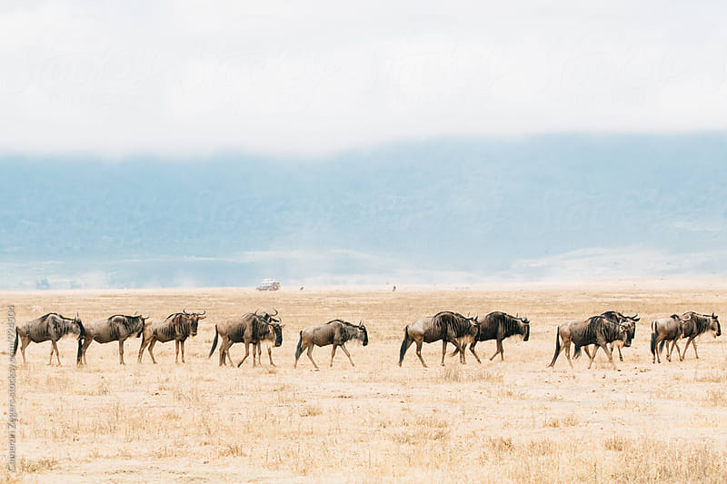 herd of wildebeest walking in Ngorongoro Crater, Tanzania by Cameron Zegers for Stocksy United