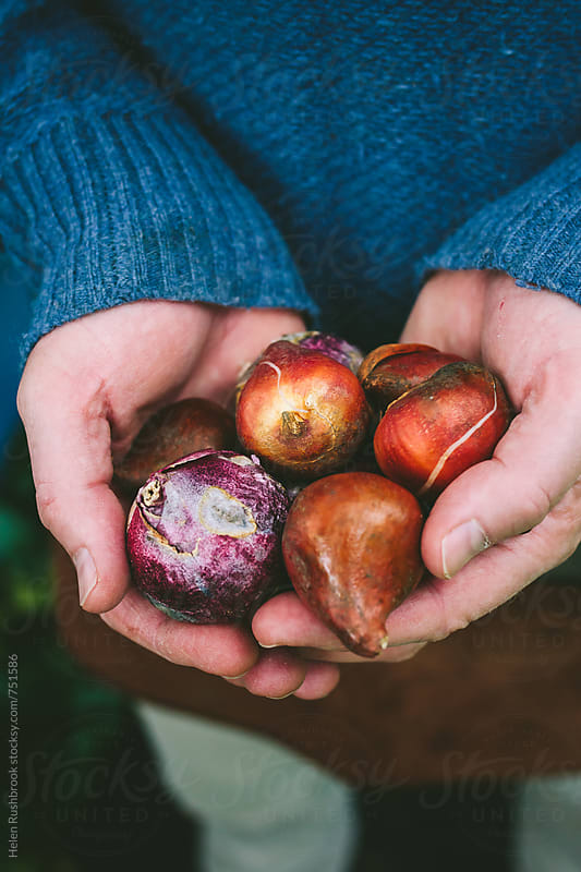 Hands holding spring bulbs. by Helen Rushbrook for Stocksy United
