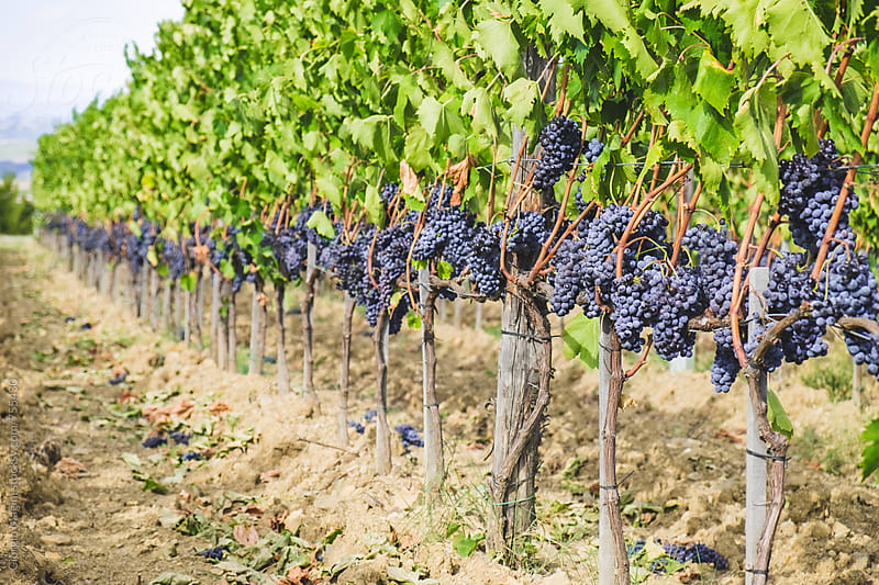 Tuscan Vineyard Full of Red Grapes, Just Before the Harvest by Giorgio Magini for Stocksy United