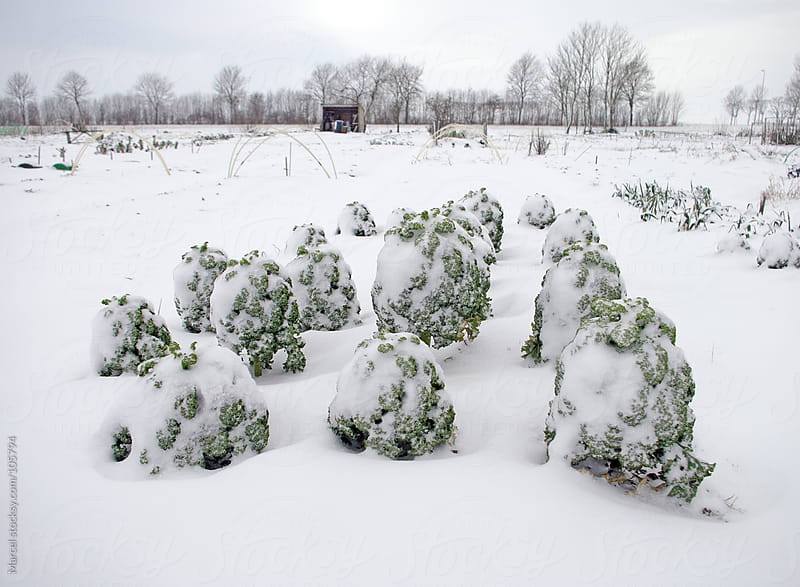 Kale covered with snow by Marcel for Stocksy United