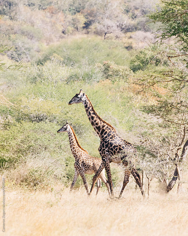 giraffes in Tanzania by Cameron Zegers for Stocksy United