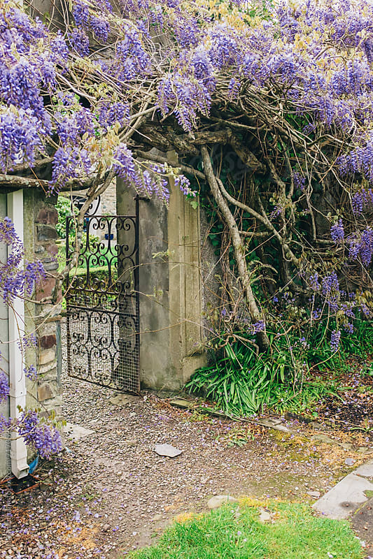 Wisteria growing around an archway by Jen Grantham for Stocksy United