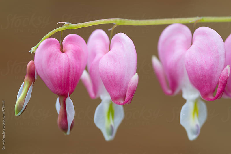 Macro of pink bleeding heart flowers by Kerry Murphy for Stocksy United
