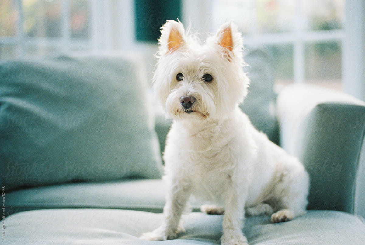 Cute Small White Dog Sitting On A Chair Stocksy United