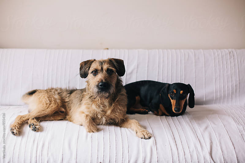Two cute dogs sitting on a couch by Marija Mandic for Stocksy United