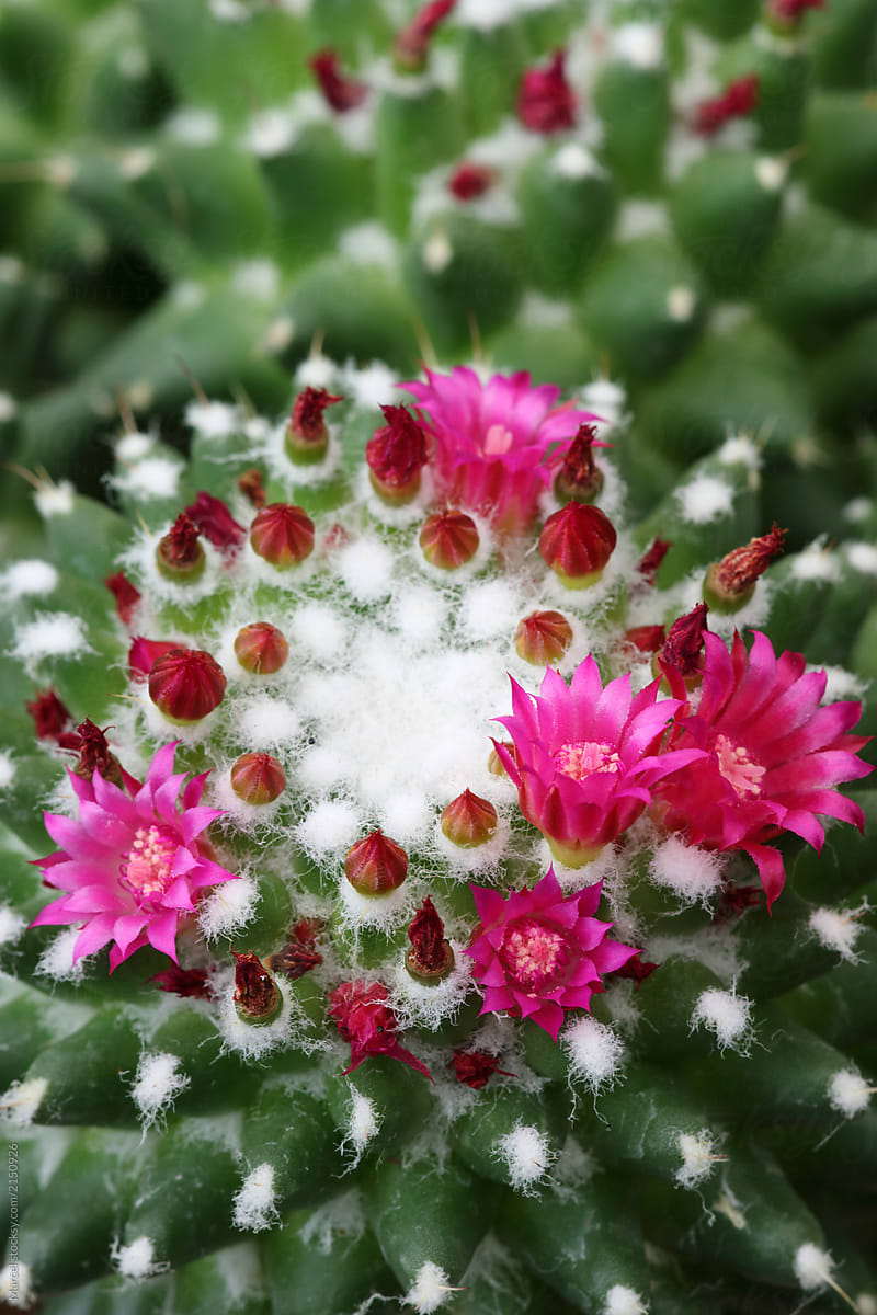 Cactus In Bloom With Pink Flowers Stocksy United