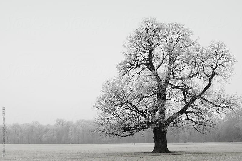 Single oak tree in winter, covered with frost on a foggy afternoon  by Melanie Kintz for Stocksy United