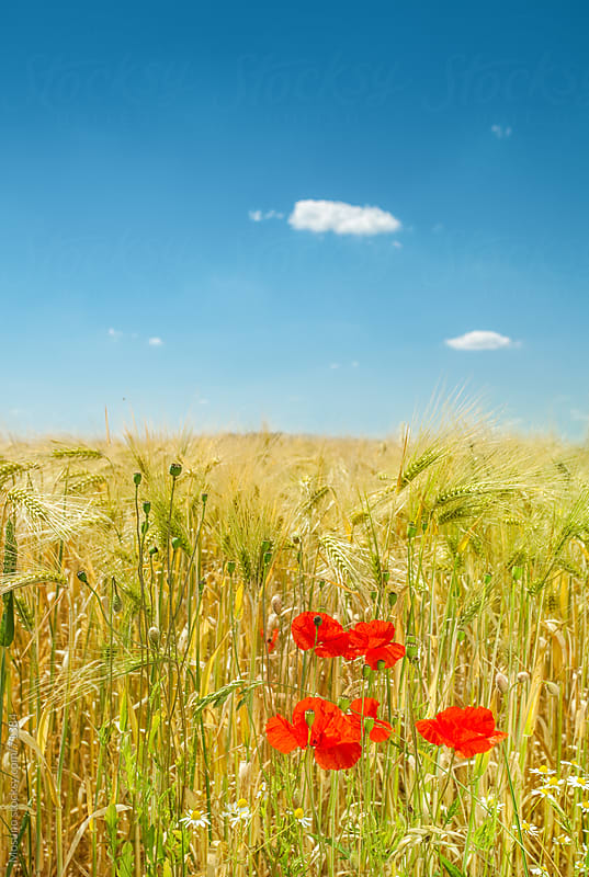 Wheat field.  by Mosuno for Stocksy United