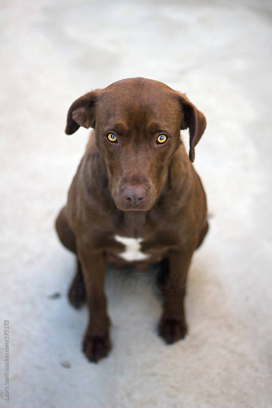 Take me home! Handsome chocolate labrador at dog pound by Laura Stolfi for Stocksy United