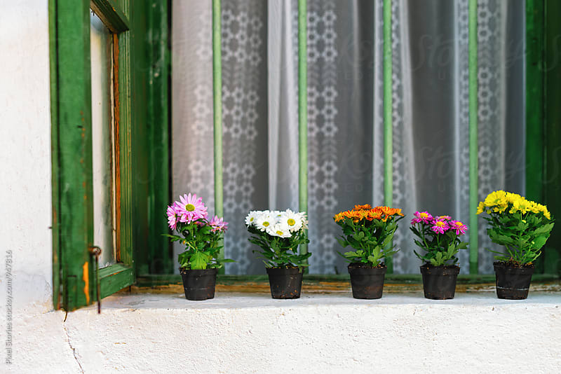 Chrysanthemums in pots on window by Pixel Stories for Stocksy United
