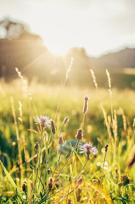 bloosoms in sunset backlight by Leander Nardin for Stocksy United