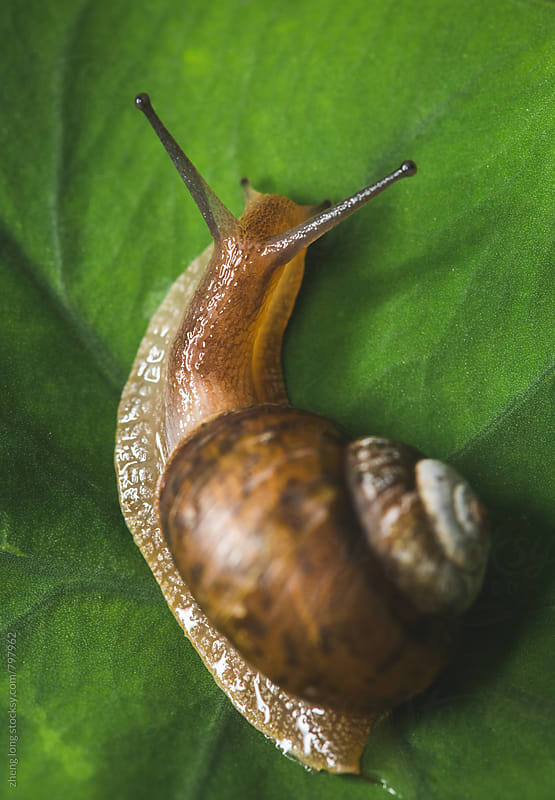 Snail on the taro leaf by zheng long for Stocksy United
