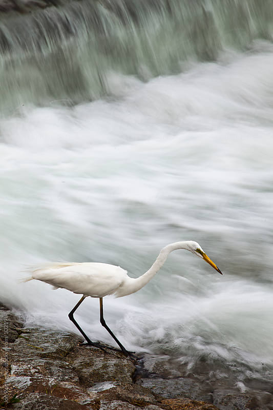 Heron fishing in the Yodo river, Kyoto by Jon Rodriguez for Stocksy United