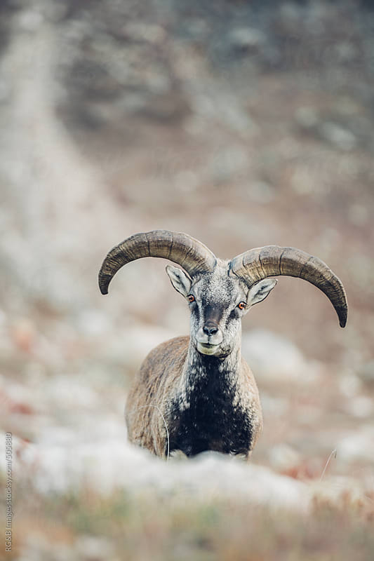 Blue Sheep by RG&B Images for Stocksy United