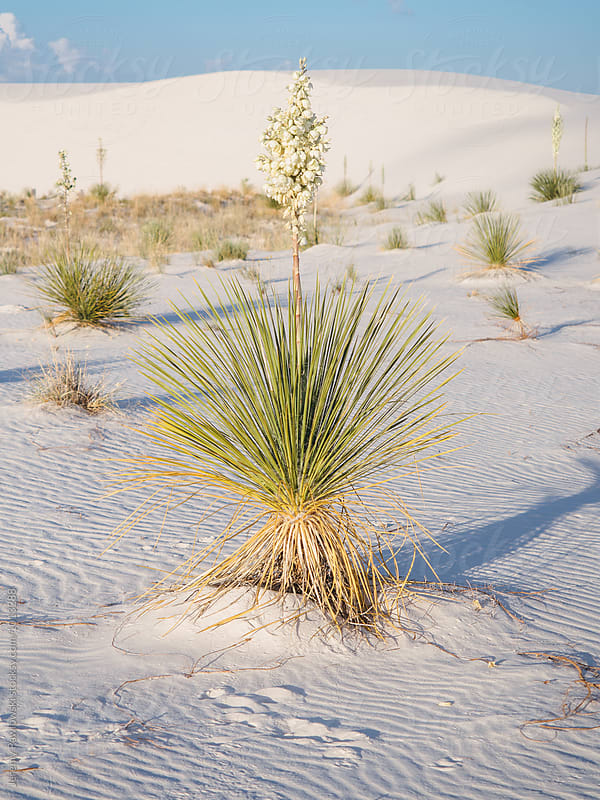 Cacti in bloom in White Sands New Mexico by Jeremy Pawlowski for Stocksy United