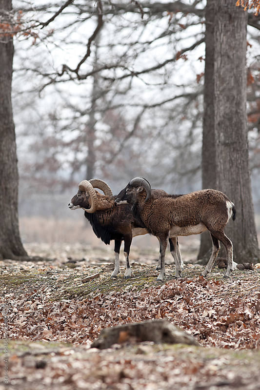 Pair of Mouflon Sheep in the Woods  by Brandon Alms for Stocksy United