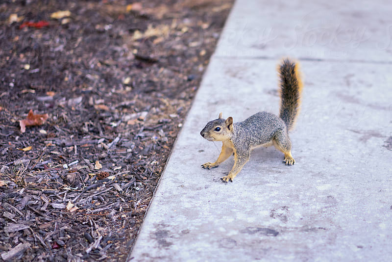 A squirrel on alert! by Mark Esguerra for Stocksy United