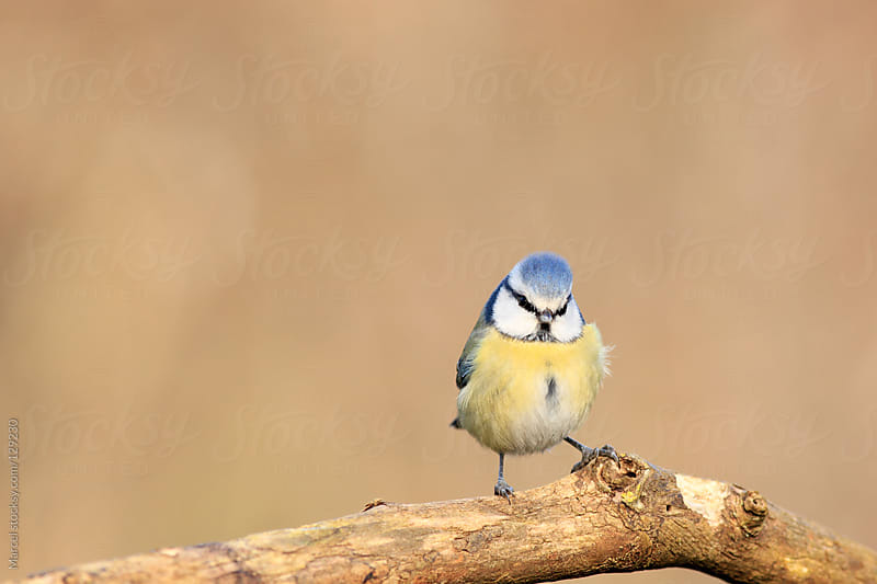 Cute blue tit by Marcel for Stocksy United