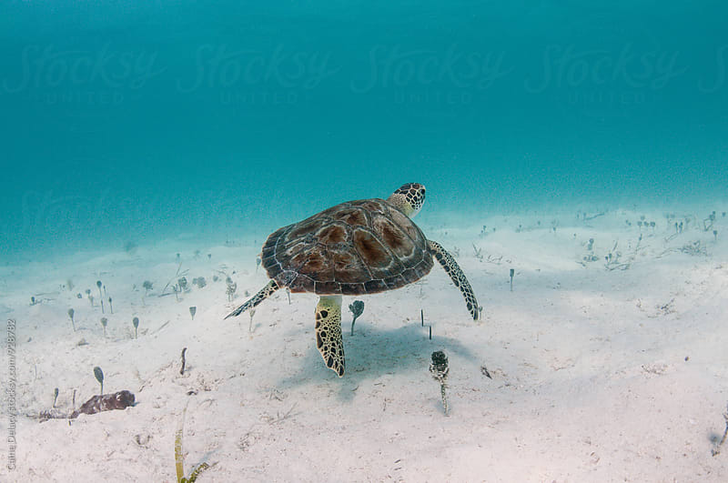 Small sea turtle swimming over sand by Caine Delacy for Stocksy United
