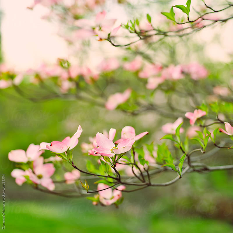 Flowering Dogwoods  by Cameron Whitman for Stocksy United