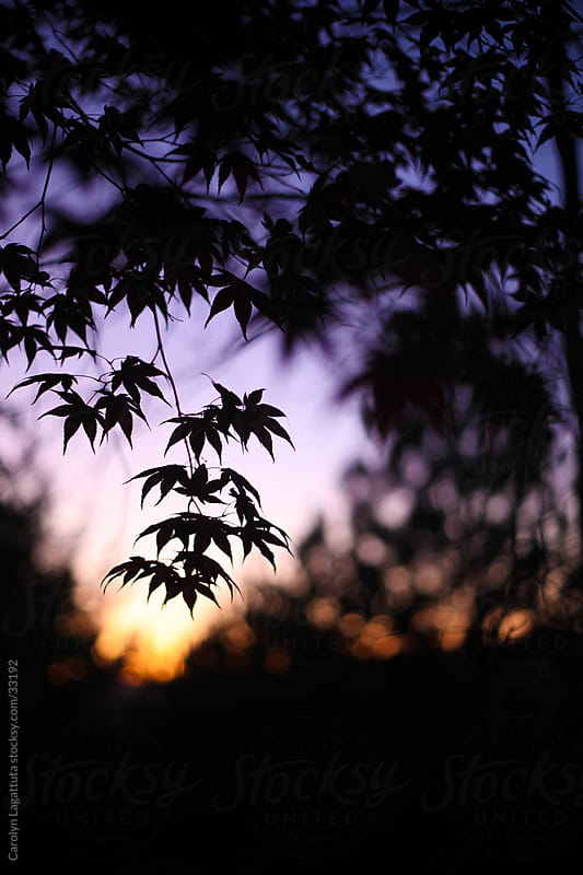 Japanese Maple silhouette against a pink and purple sky by Carolyn Lagattuta for Stocksy United